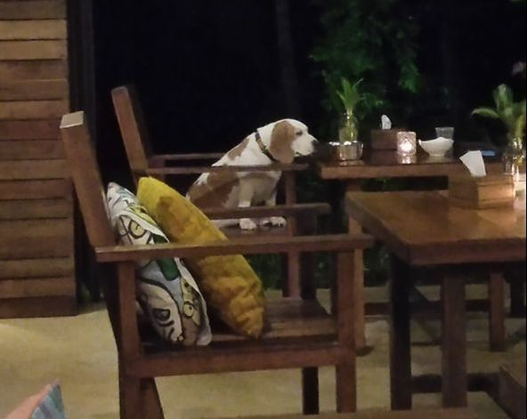 Picture of a dog sitting on a chair at a dining table.