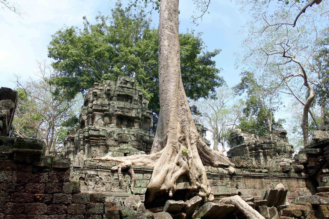 Large tree trunk growing above one of the wall of Ta Prohm